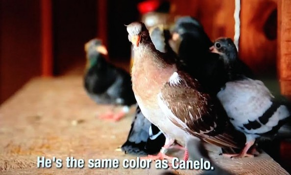 Canelo Pigeon