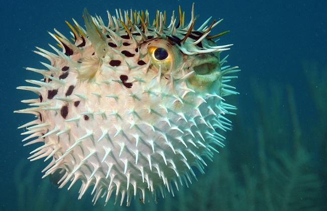 Blowfish or diodon holocanthus underwater in ocean