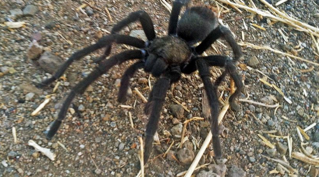 http://cdn1.thecomeback.com/wp-content/uploads/2016/09/tarantula-california-640x356.png