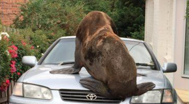 Large fur seal climbs on vehicle, smashes windscreen in Tasmania adventure