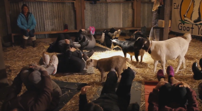 Goat Yoga Gets Popular In US State