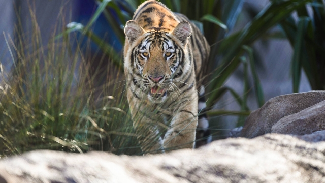 LSU officially announces new mascot, Mike VII