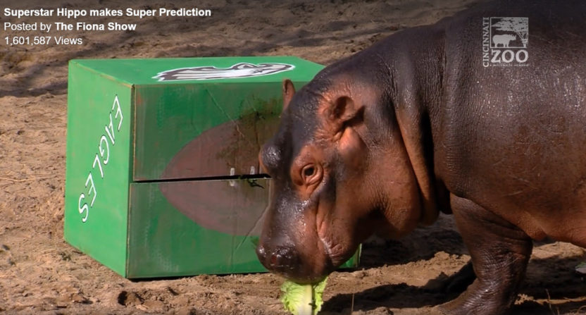 Fiona the hippo is one of the animals making Super Bowl picks.