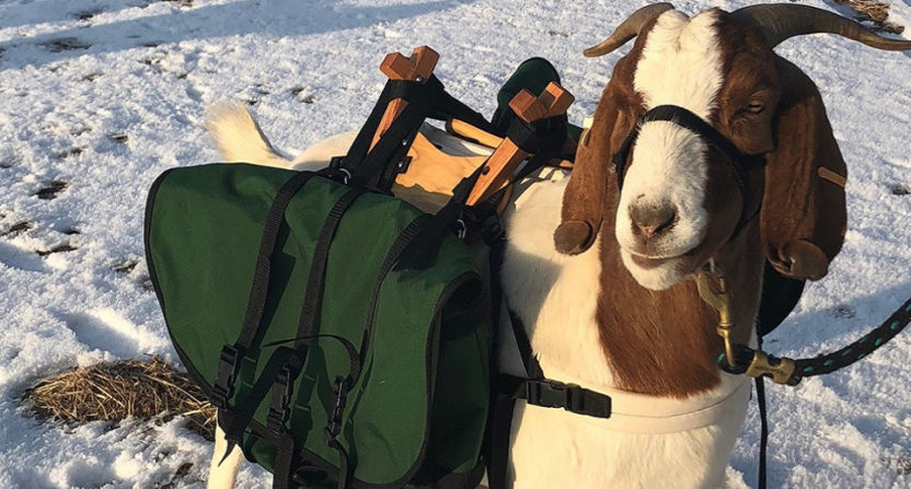 Oregon's Silvies Valley Ranch wants to use trained goats as caddies.