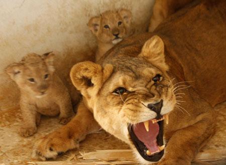 lions_cubs