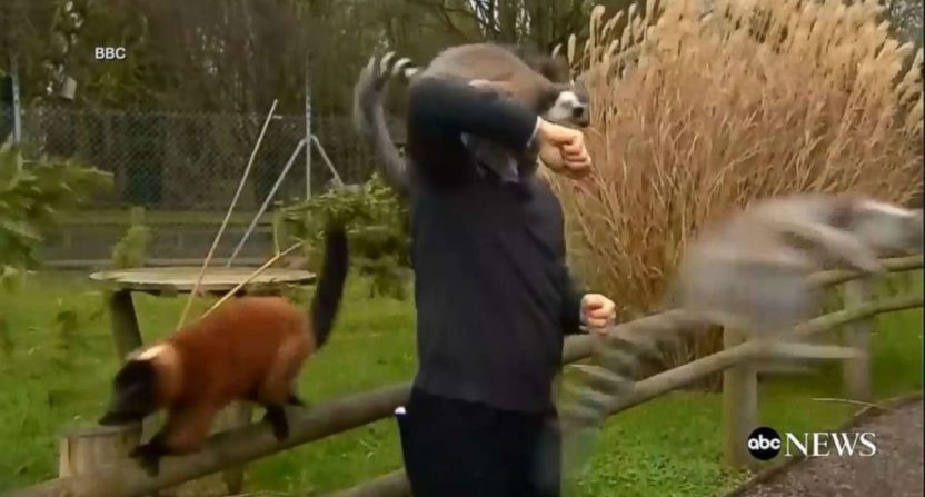 The BBC's Alex Dunlop fending off lemurs during a segment.
