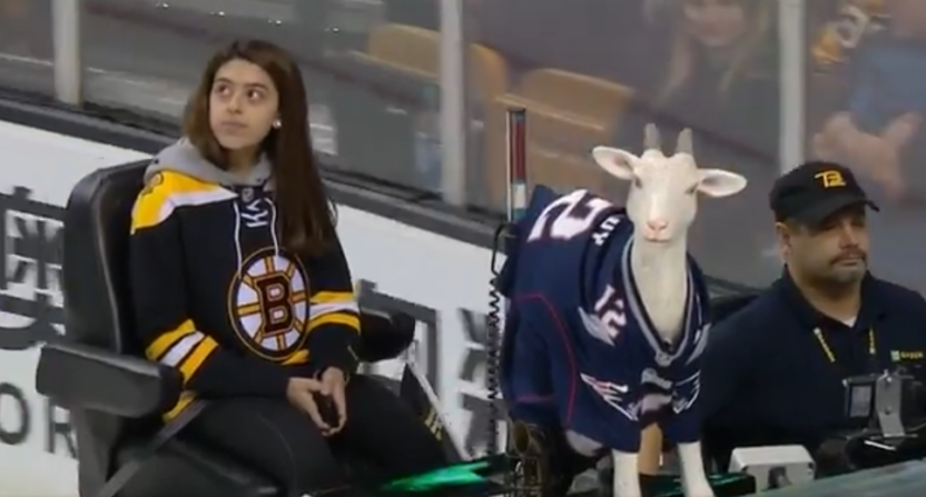 The Boston Bruins put this goat in a Tom Brady jersey on their Zamboni.