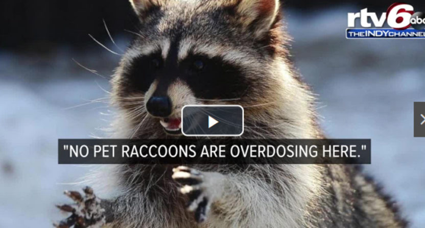 A high pet raccoon caused quite the issues for an Indianapolis fire department.