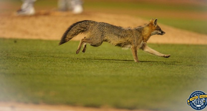 This rally fox interrupted the Charleston RiverDogs' game Tuesday, and they then promptly hit a walkoff HR.