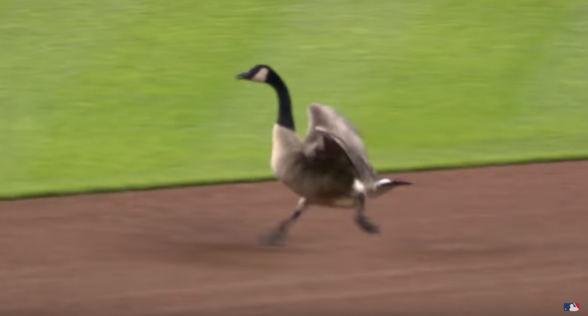 detroit tigers-rally goose