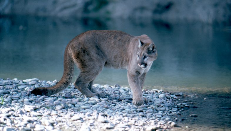 A mountain lion in Grand Teton National Park (National Park Service).