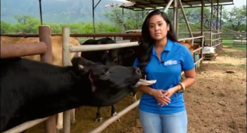 Reporter Jobeth Devera meets a very friendly cow.