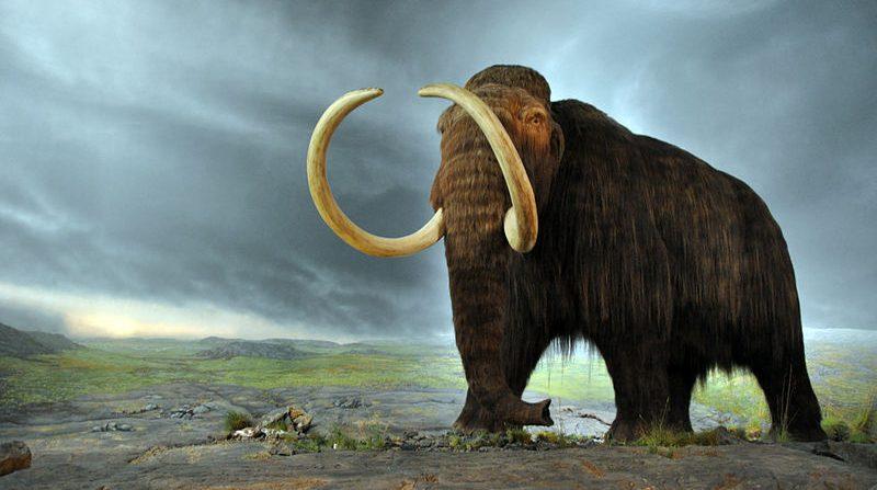 A woolly mammoth display at the Royal BC Museum (Wikipedia).