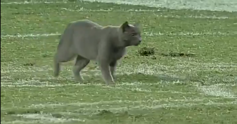 A cat invaded the field during the Memphis-USF game Saturday.